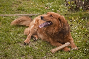 ginger-dog-1434399-4-m.jpg